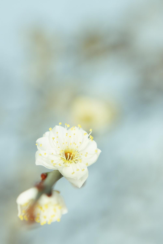 湯島天神の梅(2)
