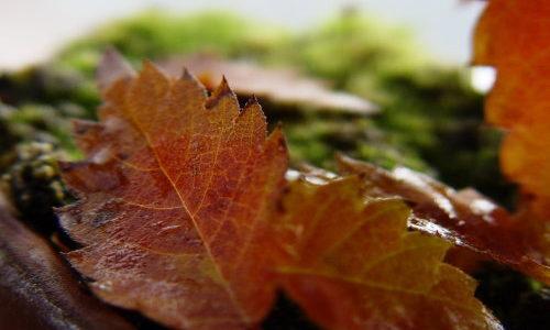自宅で紅葉を楽しむ(1)