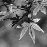 三郷公園の紅葉(自家現像&自家プリント)