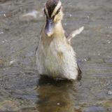 小鴨の水浴び