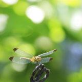 真夏の蜻蛉(TAMRON 90mm Macro)