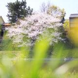 京都の春2019